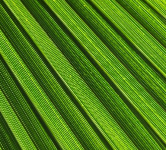 fotografie ce evidențiază nervurile frunzei verzi de palmier