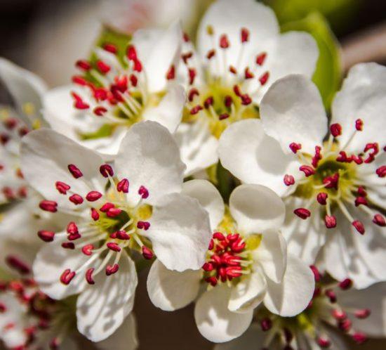 flori de vișin, primăvara în bătaia soarelui
